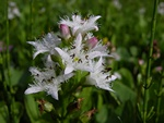Bogbean (Menyanthes trifoliata)